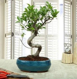 Amazing Bonsai Ficus S İthal  Afyon internetten çiçek siparişi