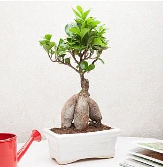 Exotic Ficus Bonsai ginseng  Afyon çiçek servisi , çiçekçi adresleri