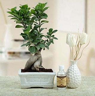 Ginseng ficus bonsai  Afyon çiçekçiler
