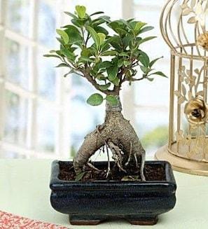 Appealing Ficus Ginseng Bonsai  Afyon anneler günü çiçek yolla