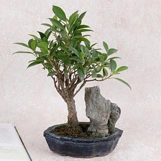 Japon ağacı Evergreen Ficus Bonsai  Afyon çiçek gönderme sitemiz güvenlidir