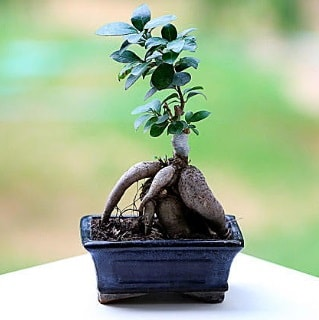 Marvellous Ficus Microcarpa ginseng bonsai  Afyon çiçek siparişi vermek