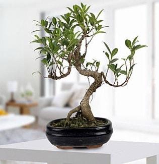 Gorgeous Ficus S shaped japon bonsai  Afyon yurtiçi ve yurtdışı çiçek siparişi