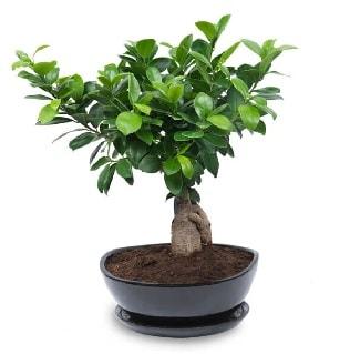 Ginseng bonsai ağacı özel ithal ürün  Afyon internetten çiçek satışı