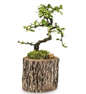 Doğal kütükte S bonsai ağacı  Afyon çiçek satışı