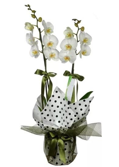 Çift Dallı Beyaz Orkide  Afyon 14 şubat sevgililer günü çiçek