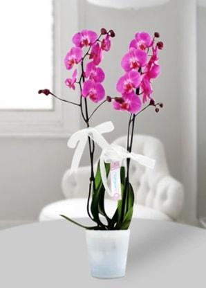 Çift dallı mor orkide  Afyon çiçekçiler
