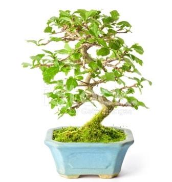 S zerkova bonsai kısa süreliğine  Afyon İnternetten çiçek siparişi