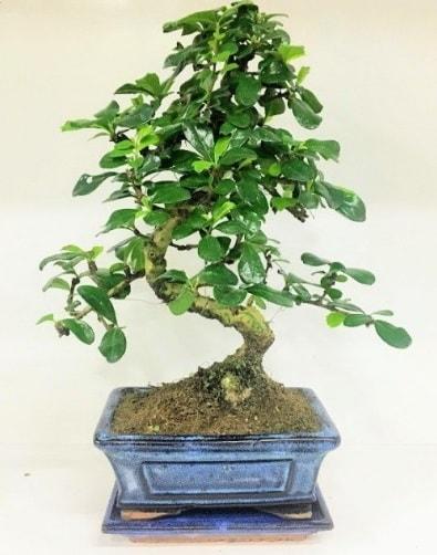 S Bonsai japon ağacı bitkisi  Afyon uluslararası çiçek gönderme