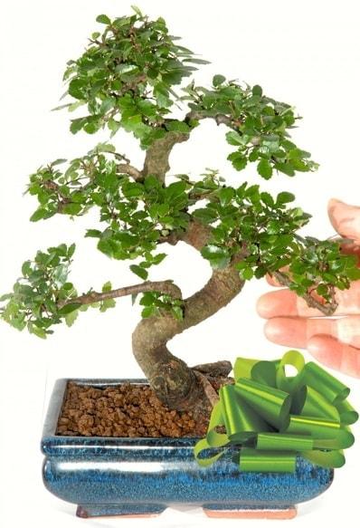 Yaklaşık 25 cm boyutlarında S bonsai  Afyon çiçek siparişi sitesi