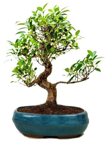25 cm ile 30 cm aralığında Ficus S bonsai  Afyon çiçek gönderme sitemiz güvenlidir