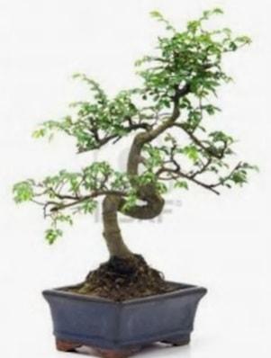 S gövde bonsai minyatür ağaç japon ağacı  Afyon çiçek satışı