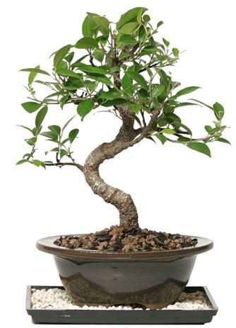 Altın kalite Ficus S bonsai  Afyon çiçekçi telefonları  Süper Kalite