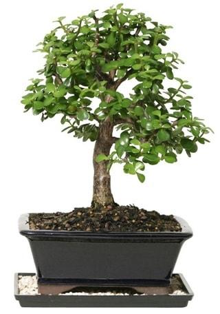 15 cm civarı Zerkova bonsai bitkisi  Afyon çiçek siparişi sitesi