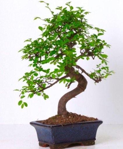 S gövdeli bonsai minyatür ağaç japon ağacı  Afyon çiçek gönderme sitemiz güvenlidir