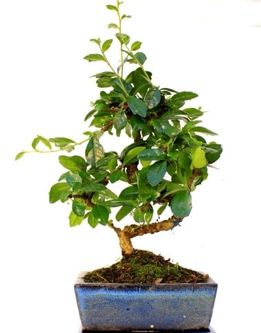 Bonsai Minyatür Ağaç Bonzai S Gövde  Afyon internetten çiçek satışı