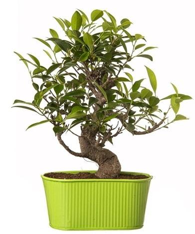 Ficus S gövdeli muhteşem bonsai  Afyon çiçek siparişi sitesi