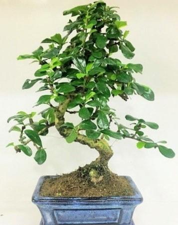 Zelkova S gövdeli Minyatür ağaç Bonzai  Afyon çiçek gönderme