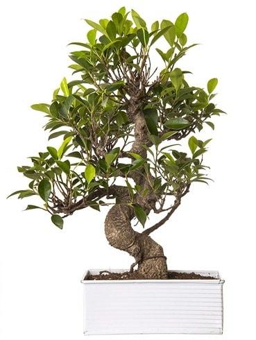 Exotic Green S Gövde 6 Year Ficus Bonsai  Afyon çiçek gönderme sitemiz güvenlidir