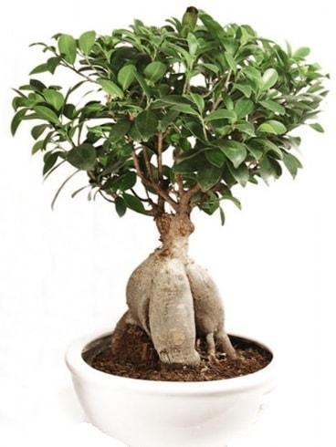 Ginseng bonsai japon ağacı ficus ginseng  Afyon İnternetten çiçek siparişi
