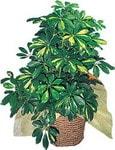 Afyon internetten çiçek siparişi  Schefflera gold